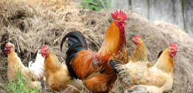 Ptasia grypa dotarła do powiatu gorlickiego. Chore ptaki w dwóch gospodarstwach!-9501